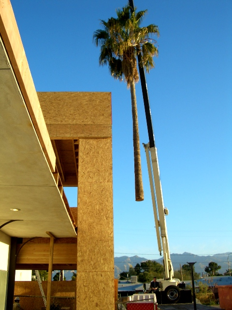 date palm tree in desert. Large palm tree removal for
