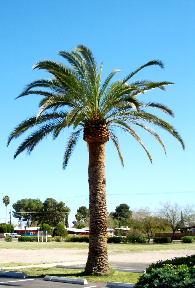 Large palm tree removal for