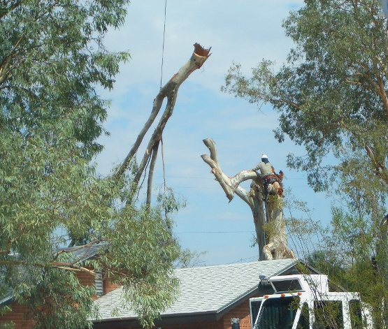 This Large Eucalyptus Tree Took Down Two City Block Of Electric Line During The Summer Storms A Crane Service Was Contracted To Safely Remove